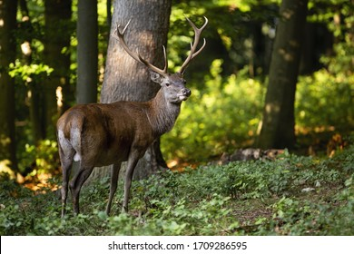 Calm red deer, cervus elaphus, watching aside in summer woodland at sunset. Tranquil nature scenery with brown mammal from back view. Wild animal with antlers in wilderness.