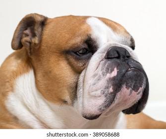 Calm and serious English bulldog close-up