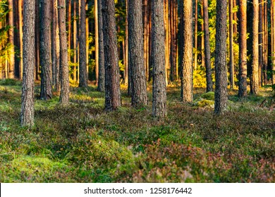 Calm and Sunny Summer Day in the Forest, with Sun Shining Through the Trees- Vegetation and Flora of Woods, Background Material