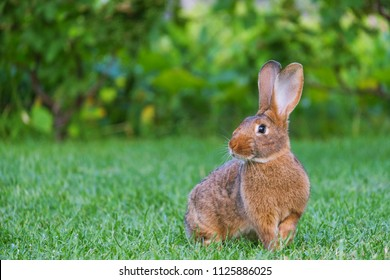 Calm and sweet little brown rabbit sitting on green grass, cute bunny.
