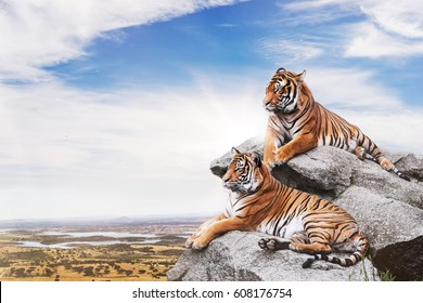 Calm tigers on the rocks