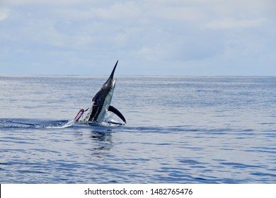 Calm weather black marlin with lure
