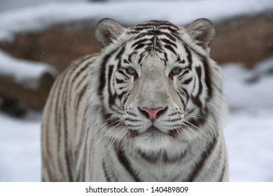 Calm white bengal tiger among snow.