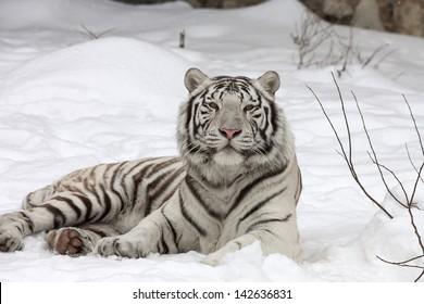 A calm white bengal tiger, lying on fresh snow.