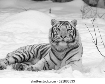 Calm white bengal tiger, lying on fresh snow. Black and white image.