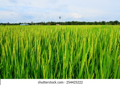 Calm winds blowing in paddy field