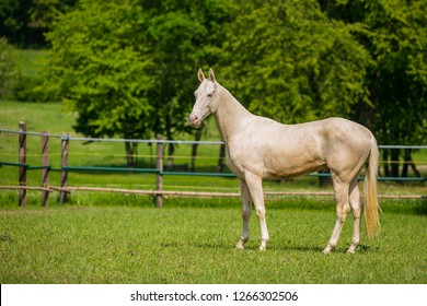 Calm young aristocratic white stallion of Akhal Teke horse breed from Turkmenistan, standing in a paddock, wooden poles, fence in background, green grass and trees, sunny summer day