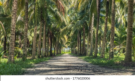 Calmness and shady in greenery coconut grove with natural sunlight