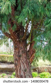Weihrauch Baum Stock Photos, Images & Photography   Shutterstock