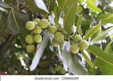 Calophyllum inophyllum is a large evergreen plant commonly called tamanu mastwood beach calophyllum beautyleaf or Sinhala