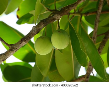 Calophyllum inophyllum is a large evergreen tree,  It is native from East Africa, southern coastal India to Malaysia and Australia.
