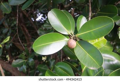 Calophyllum inophyllum, Theales,Clusiaceae,Calophyllum,C. inophyl