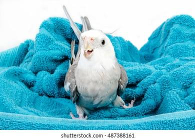 Calopsita bird in a blue towel