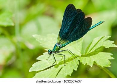 Calopteryx virgo (beautiful demoiselle)