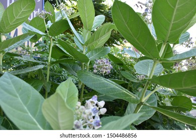 Calotropis gigantea Purple Crown flower,Giant Indian Milkweed,Giant Milkweed,Tembega