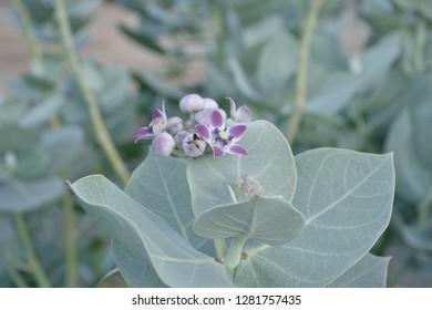 Calotropis plant flowers, flowers used in siva pooja