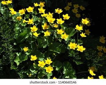 caltha palustris flowers