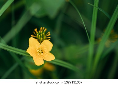Caltha Palustris, Known As Marsh-marigold And Kingcup, Is A Perennial Herbaceous Plant Of The Buttercup Family, Native To Marshes, Fens, Ditches And Wet Woodland. Belarus, Belarusian Nature.