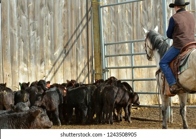 Calves being sorted by ranch worker on horseback