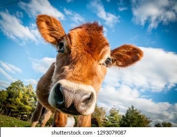 Calves Calf and Cows on the farm