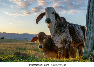 calves of cattle breed gir and nelore in the pasture with blue sky background. nelore