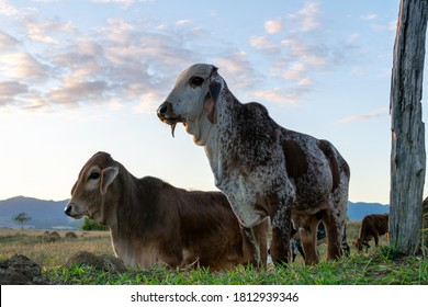 calves of cattle breed gir in the pasture with blue sky background. nelore