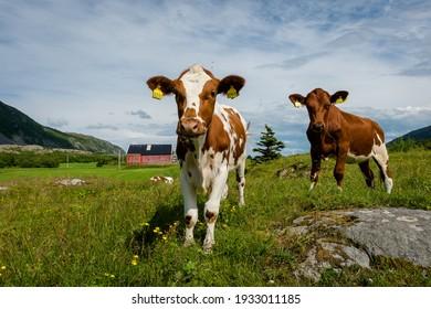 Calves in farmland, Northern Norway, coastal agriculture