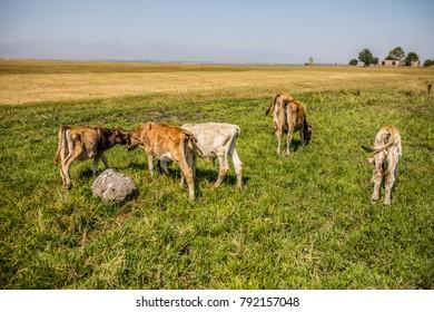 Calves in the field herding