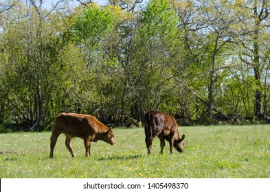 Calves grazing in a green pastureland with yellow flowers at the swedish island Oland
