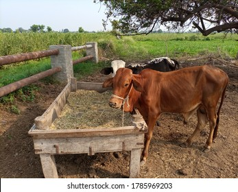 Calves  / heifers at a fodder stand of a dairy farm