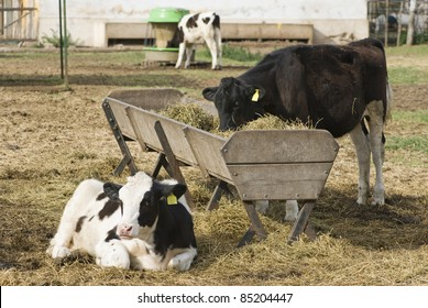 Calves, heifers or young holando-argentino cows and a feeding trough, at the Faculty of Veterinary at Casilda city, Argentina