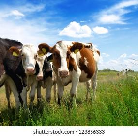 Calves on the field