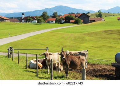 Calves on a pasture in front of a small village, Allgau