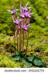 Calypso Orchid (Calypso bulbosa). It appears to be a good spring for these ladies.