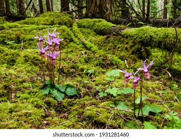 Calypso Orchid (Calypso bulbosa) and moss in forest understory.