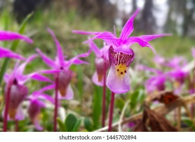 Calypso Orchids in Valley of the Five Lakes