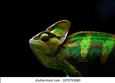 The veiled chameleon (Chamaeleo calyptratus) is a species of chameleon native to the Arabian Peninsula in Yemen and Saudi Arabia. Other common names include cone-head chameleon and Yemen chameleon.