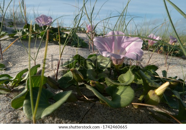 Calystegia soldanella is a species of flowering plant belonging to the family Convolvulaceae.