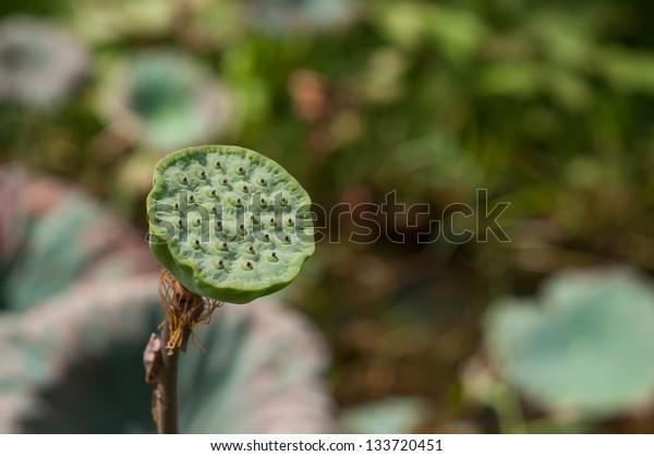 calyx of lotus