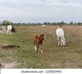 Camargue, France - April 20, 2019: Horses in the wild.