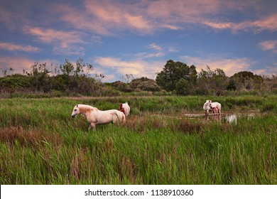 Camargue, France: landscape at sunset with wild white horses grazing in the wetlands of the nature park