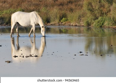 Camargue horse standing in a shallow pond and drinking