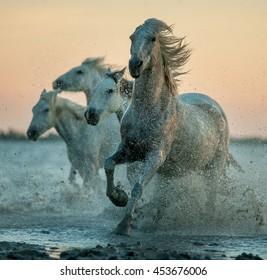 camargue horses running on the sunrise water