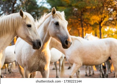 Camargue Horses in the south of France