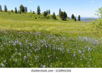 Camas and Mules Ears Coloring the Hillsides of Southwestern Idaho and Southeastern Oregon