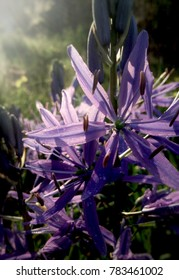 Camassia Flower in Morning Light