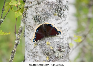 Camberwell Beauty or Mourning Cloak (Nymphalis antiopa) in summer on birch, Sweden