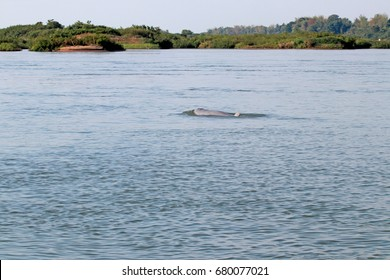 Cambodia - April 2017 : A rare Irrawaddy river dolphin on Mekong River near the Kratie city of Cambodia. The nearly extinct dolphins of this city are the main tourist attraction for watching.