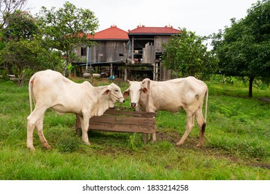 Cambodia, cows graze on the island of Koh Trong