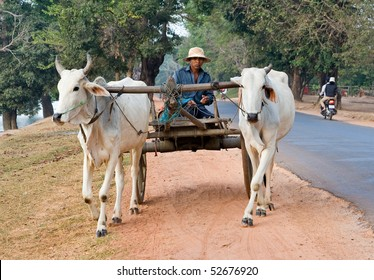 CAMBODIA - DECEMBER 29: Two white water buffalo pulling a cart and driver along the side of the road December 29, 2007 in rural Cambodia.
